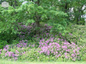 Foto Etwas mehr Rhododendron