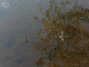 Foto Libelle über dem Wasser