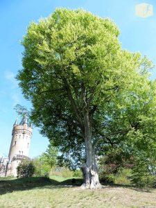 Foto Buche im Park Babelsberg mit Flatowturm